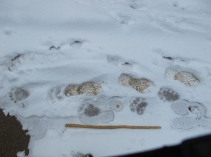 Image of tracks left in snow, young Black Bear then Human, walking in opposite directions.